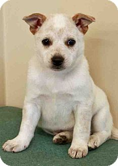 Australian Cattle Dog Mix Puppy for adoption in Gahanna, Ohio - ADOPTED!!!   Mylie