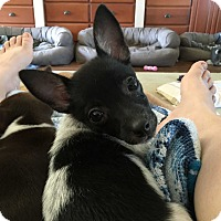 Adopt A Pet :: Piglet - Glastonbury, CT