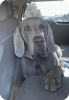 Weimaraner Mix Dog for adoption in Sun Valley, California - Carter