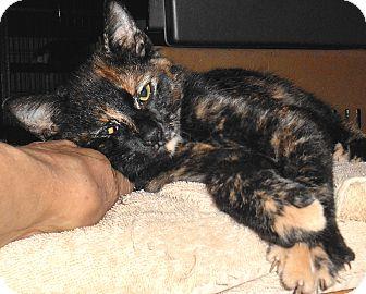 Domestic Shorthair Kitten for adoption in Chattanooga, Tennessee - Geraldine