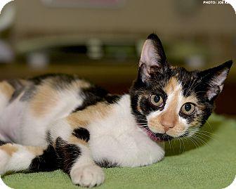 Domestic Shorthair Kitten for adoption in Medina, Ohio - Jocelyn
