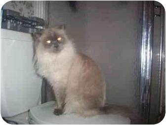 Himalayan Cat for adoption in Gloucester, Virginia - Raja