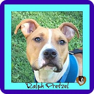 """Pit Bull Terrier Mix Dog for adoption in Memphis, Tennessee - Ralph """"Pretzel"""""""