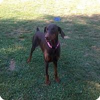 Adopt A Pet :: Loka - Bath, PA