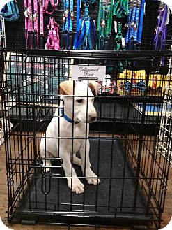 Labrador Retriever Mix Puppy for adoption in Covington, Tennessee - Zack
