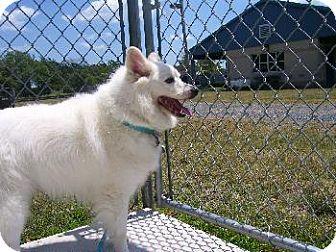 American Eskimo Dog Dog for adoption in Walnutport, Pennsylvania - Coty