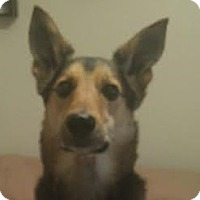 Adopt A Pet :: Shiva-Referral - Dripping Springs, TX
