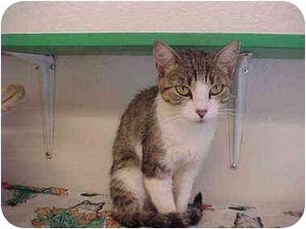 Domestic Shorthair Cat for adoption in El Cajon, California - Mummies