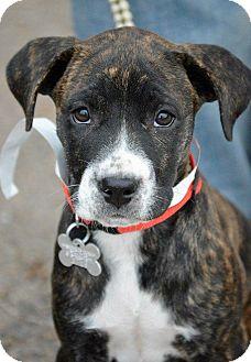Great Dane Mix Puppy for adoption in Colorado Springs, Colorado - Hope