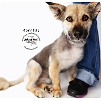 Adopt A Pet :: Forrest - Sherman Oaks, CA