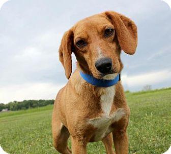 Dachshund/Beagle Mix Dog for adoption in Dillsburg, Pennsylvania - Mimi