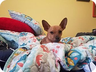 Chihuahua Mix Dog for adoption in Brooklyn, New York - Marvin