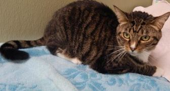 Domestic Shorthair/Domestic Shorthair Mix Cat for adoption in Clearfield, Pennsylvania - Ruby