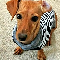 Adopt A Pet :: Mercedes in NY - Columbia, TN