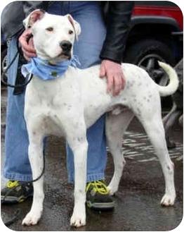 Dogo Argentino/Dalmatian Mix Dog for adoption in Marina del Rey, California - Gabe