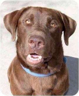Labrador Retriever Mix Dog for adoption in Phoenix, Oregon - Rogue