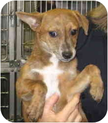 Corgi/Chihuahua Mix Puppy for adoption in Stillwater, Oklahoma - Ziffer