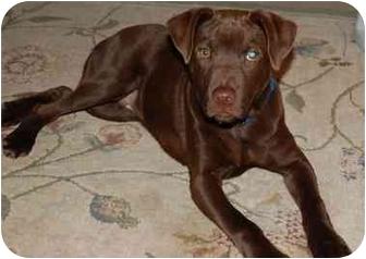 Labrador Retriever Mix Puppy for adoption in Rochester/Buffalo, New York - Bruin