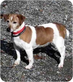 Jack Russell Terrier Dog for adoption in Rhinebeck, New York - Gidget