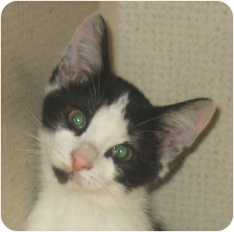 Domestic Shorthair Kitten for adoption in Hamilton, New Jersey - BABS