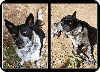 Australian Cattle Dog/Blue Heeler Mix Dog for adoption in Comanche, Texas - Sunnie