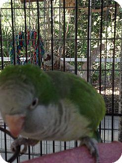 Parakeet - Quaker for adoption in Punta Gorda, Florida - JoJo