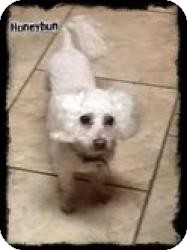 Bichon Frise Dog for adoption in Walker, Louisiana - HONEYBUN