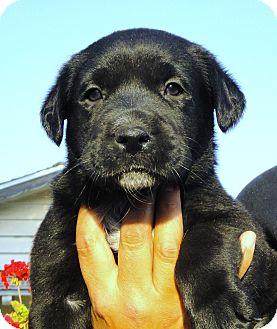 Labrador Retriever Mix Puppy for adoption in Santa Ana, California - Ebony