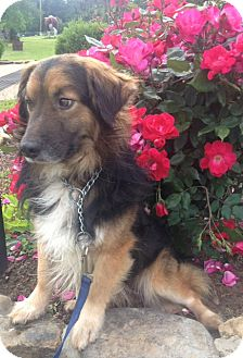 Australian Shepherd Mix Dog for adoption in East Hartford, Connecticut - RICKY ADOPTION PENDING