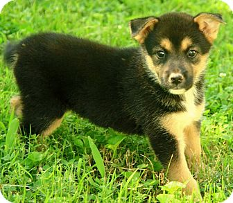Husky/Alaskan Malamute Mix Puppy for adoption in Hagerstown, Maryland - Bo