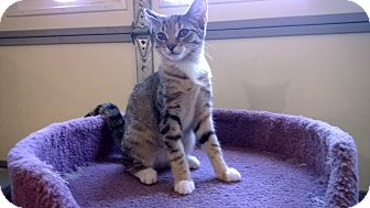 Domestic Shorthair Kitten for adoption in Speonk, New York - Althea