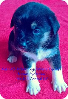 Border Collie/Shepherd (Unknown Type) Mix Puppy for adoption in Lancaster, Kentucky - Male#7 Border Collie