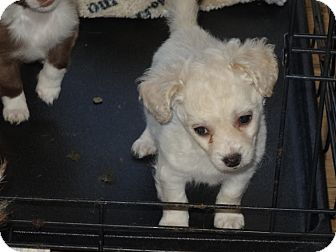 Chihuahua/Chihuahua Mix Puppy for adoption in Wilminton, Delaware - Danny