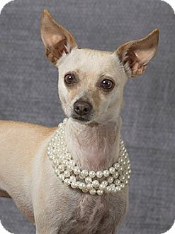 Chihuahua Mix Dog for adoption in McKinney, Texas - Cookie