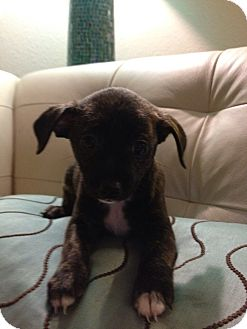 Chihuahua/Terrier (Unknown Type, Small) Mix Puppy for adoption in S. Pasedena, Florida - Dolly
