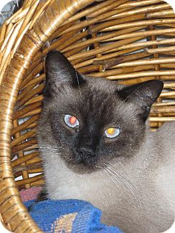 Siamese Cat for adoption in Las Cruces, New Mexico - Louis