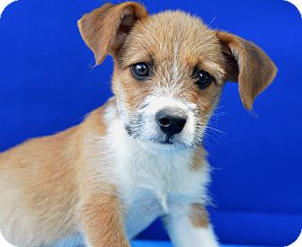 Terrier (Unknown Type, Small) Mix Puppy for adoption in LAFAYETTE, Louisiana - CANE