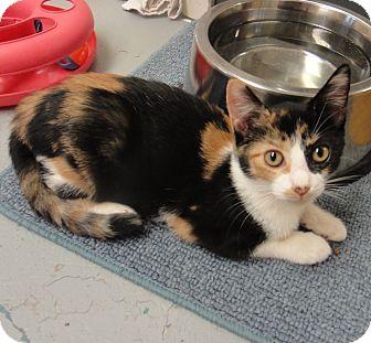 Calico Cat for adoption in San Leon, Texas - Sandy