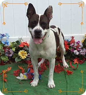 American Staffordshire Terrier Mix Dog for adoption in Marietta, Georgia - MARSHALL TUCKER