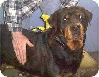 Rottweiler Dog for adoption in Forest Hills, New York - Nikki