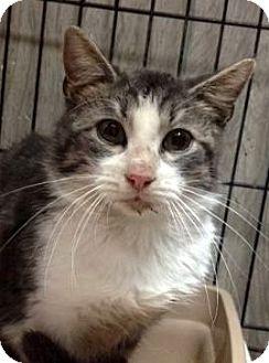 Domestic Shorthair Cat for adoption in Porter, Texas - Greystoke