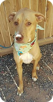 Rhodesian Ridgeback/Labrador Retriever Mix Dog for adoption in Apache Junction, Arizona - LowKey