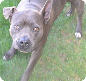 Pit Bull Terrier Mix Dog for adoption in Fruit Heights, Utah - Akima