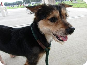 Terrier (Unknown Type, Small)/Jack Russell Terrier Mix Dog for adoption in Toms River, New Jersey - Charlie