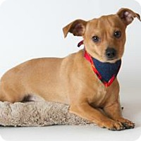 Miniature Pinscher/Dachshund Mix Dog for adoption in Concord, California - Maurice