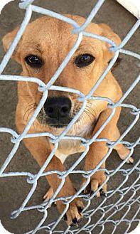 Labrador Retriever Mix Puppy for adoption in Aurora, Missouri - Bailey