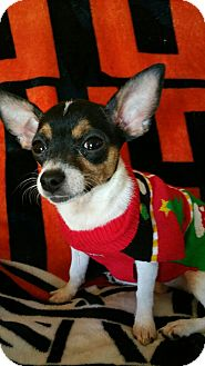 Chihuahua Mix Puppy for adoption in Rockford, Illinois - Gabi