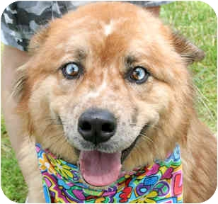 Australian Shepherd Mix Dog for adoption in Cincinnati, Ohio - Skip