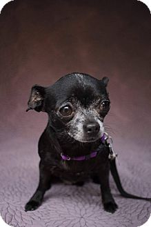 Chihuahua Mix Dog for adoption in Houston, Texas - Gwen