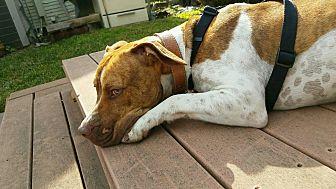 American Pit Bull Terrier Mix Dog for adoption in La Crescenta, California - Leroy